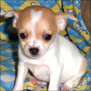 Chihuahua babies for sale & for adoption