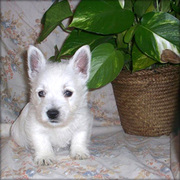Super Cute West Highland Terrier