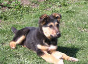 $300 - potty trained german sherpard pups for sale to a caring home