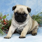 Well Trained Pug Puppies for Adoption