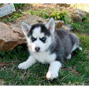 piercing blue eyes Siberian husky puppies