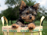 Cute tea cup yorkie  puppies for adoption
