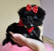 most adorable teacup poochin puppy for adoption